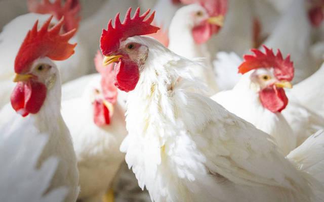 صورة 4 أجزاء في الدجاج لا ينصح بأكلها