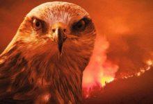 """صورة """"صقر النار"""".. قصة طائر متهم بنشر """"الجحيم """" في أستراليا(فيديو)"""